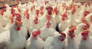 أسباب ارتفاع أسعار الدجاج حسب بعض الباعة